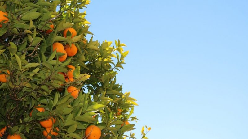 Growing oranges under a clear blue sky